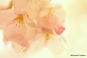 桜1のコピー